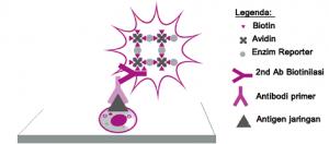 Gambar 1. Prinsip kerja Metode Avidin-biotin complex