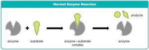 Gambar 1. Reaksi Normal Enzim