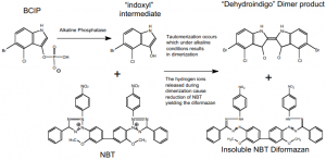 Gambar 1. Reaksi Enzim-Substrat (BCIP-NBT) menghasilkan warna biru/ungu (NBT Diformazan)