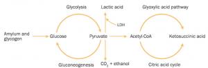 Siklus Glikolisis